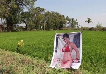 खेतमा सन्नी लियोनको पोस्टर राख्दा मालामाल