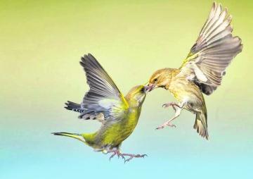पक्षीको प्रेम : चरी पनि ब्वाईफ्रेन्ड फेर्छन्